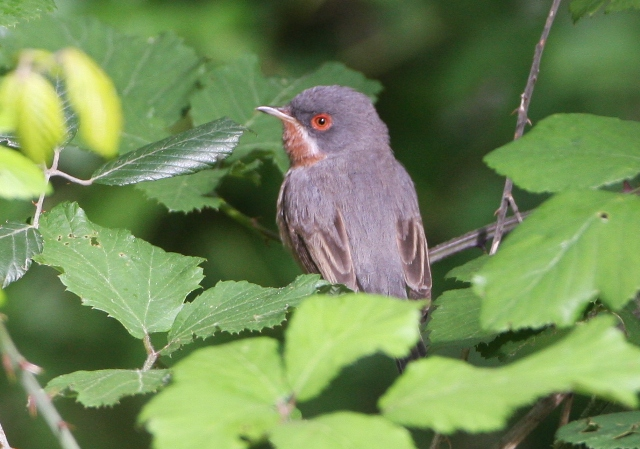 Supalpine warbler - Sylvia cantillans - Curruca carrasqueña - Tallarol de garriga