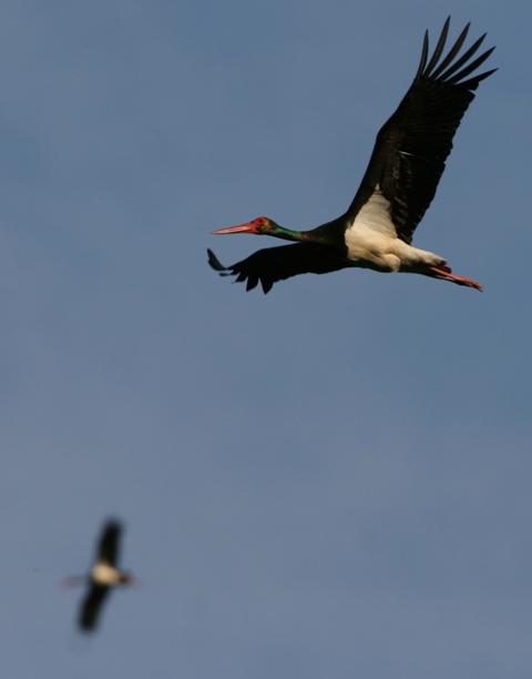 Black Stork - Ciconia nigra - Cigüeña negra - Cigonya negra - Cigogne noire