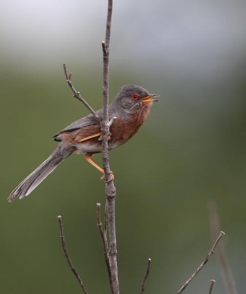 Dartford warbler - Sylvia undata - Curruca rabilarga - Tallareta cuallarga