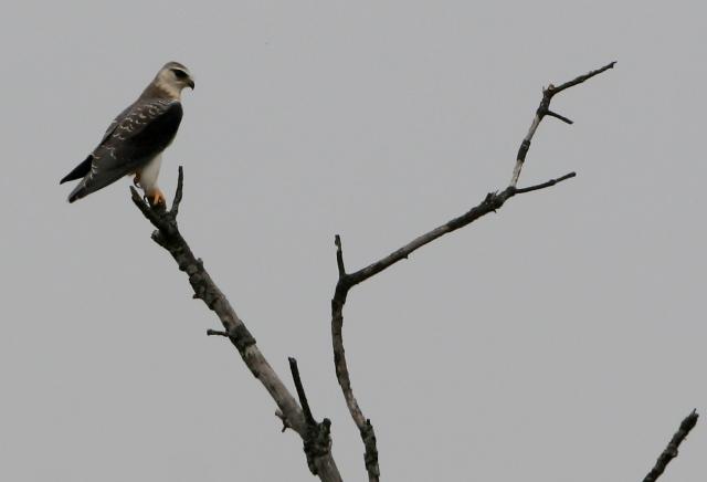 Young Black-shouldered kite - Elanus caeruleus - Elanio azul - Esparver dEspatlles negres