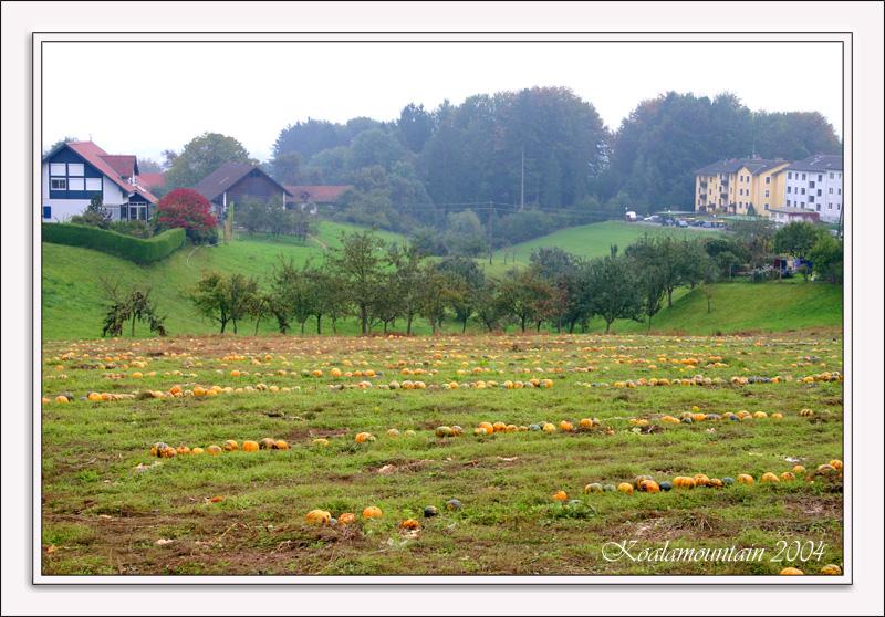 pumpkin field at Wildbach / Steiermark