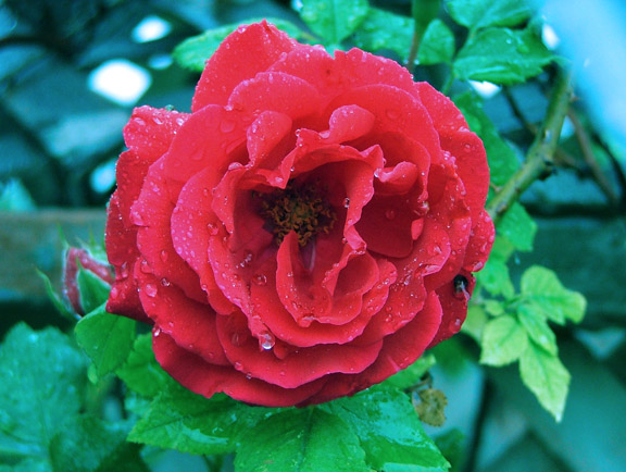Rose in the rain.jpg