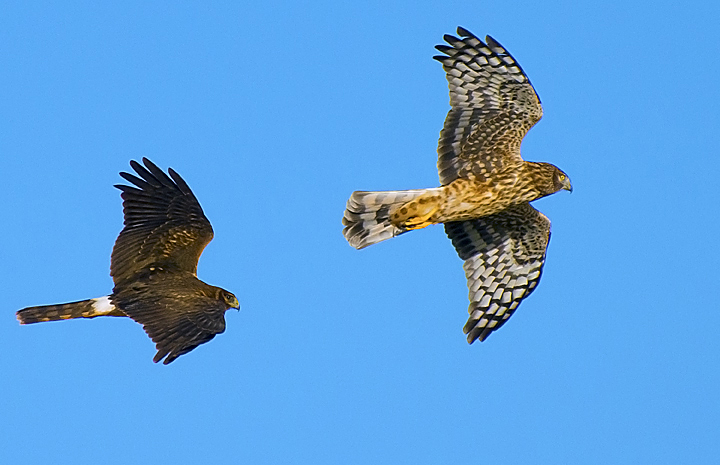 A male Northern Harrier Hawk chasing a female