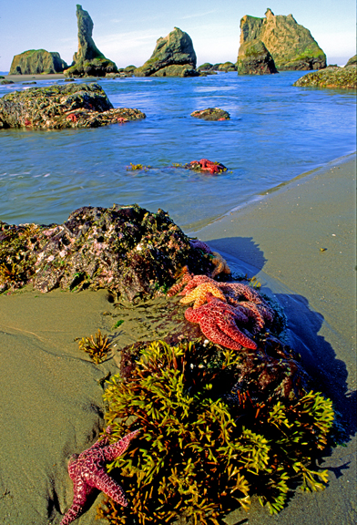 (SH33) Seastars  and kelp, Bandon Beach State Park, OR