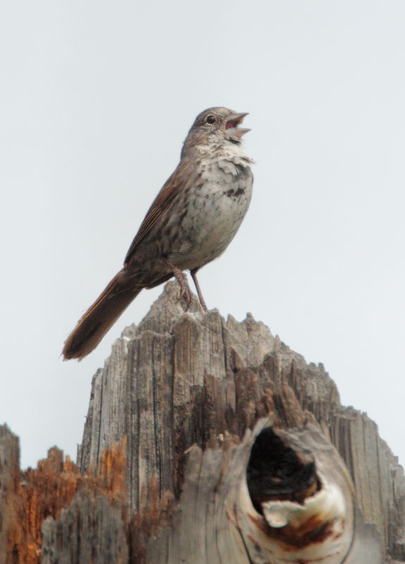 Fox Sparrow, Thick-billed, singing male
