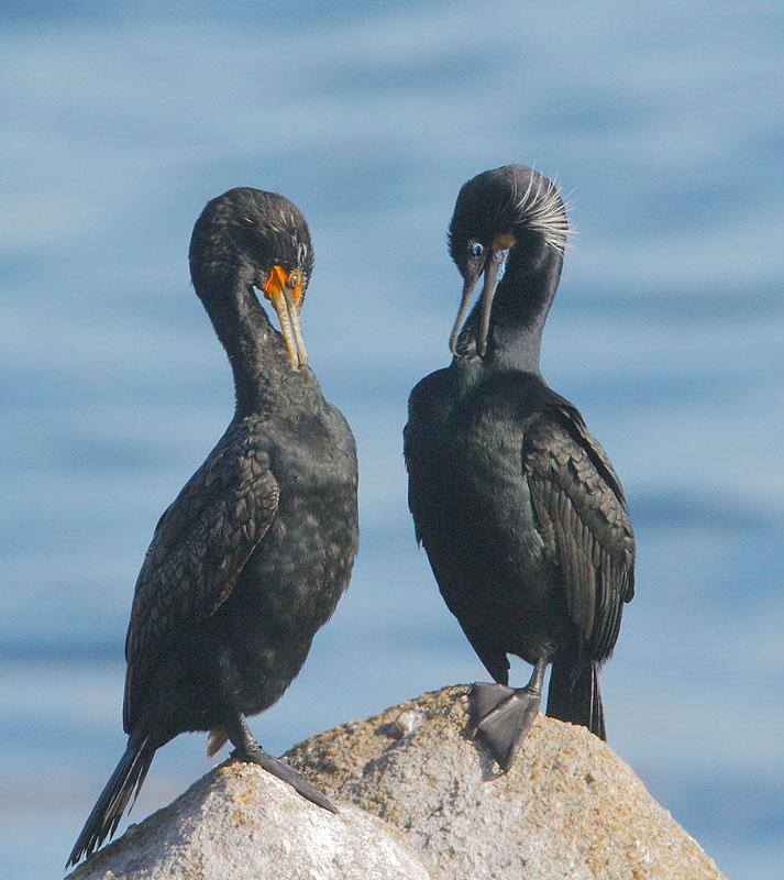 Brandts & Double-crested Cormorants