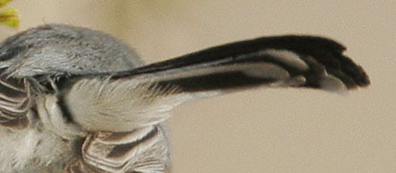 Black-tailed Gnatcatcher, undertail
