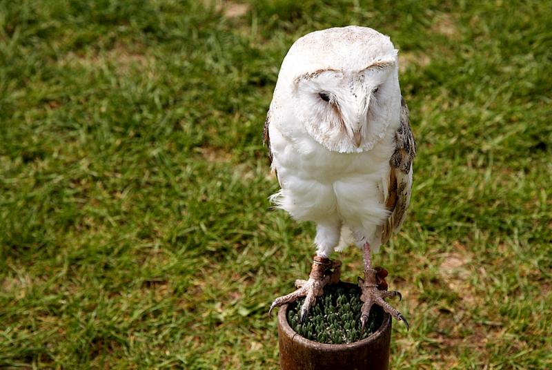 Barn Owl - Sadly Captive