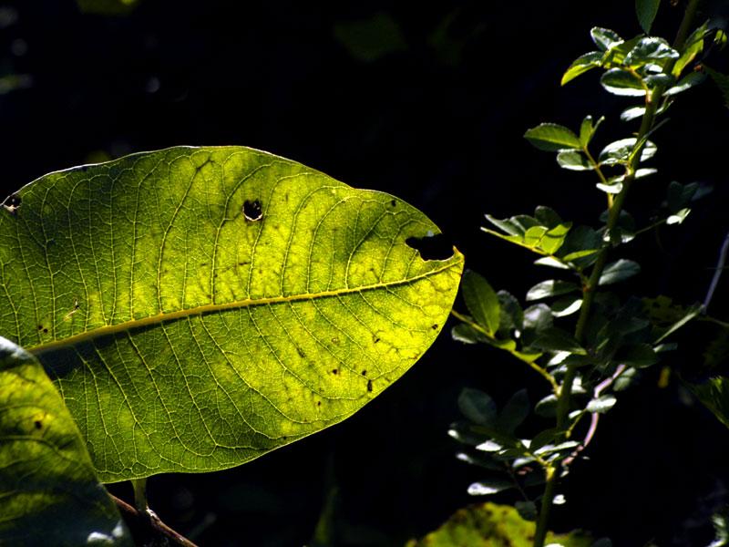 endangered species — milkweed fish
