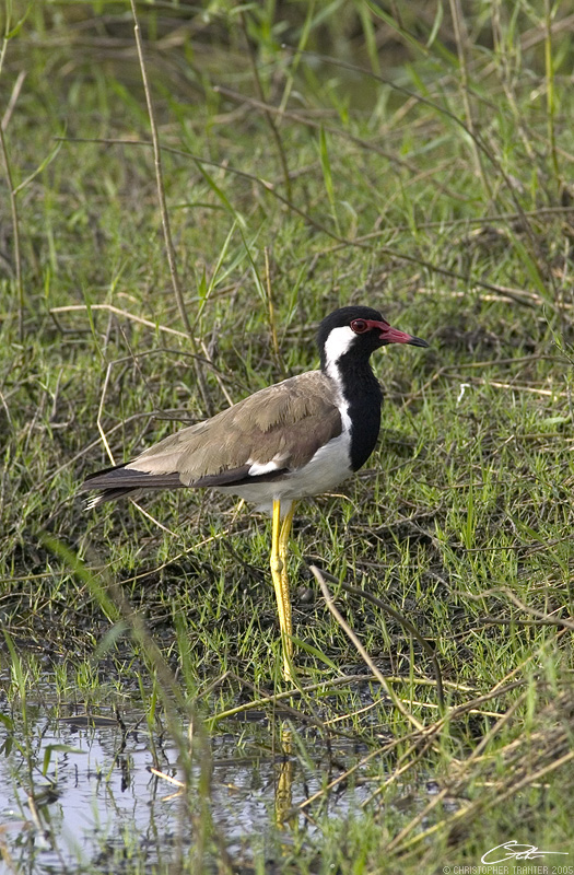 <i>Vanellus indicus </i></br>Red-Wattled Lapwing