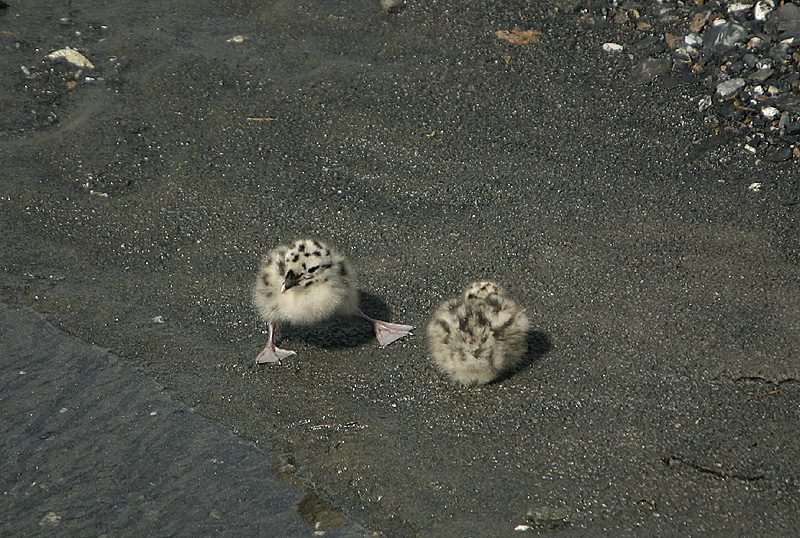 Mew Gull chicks