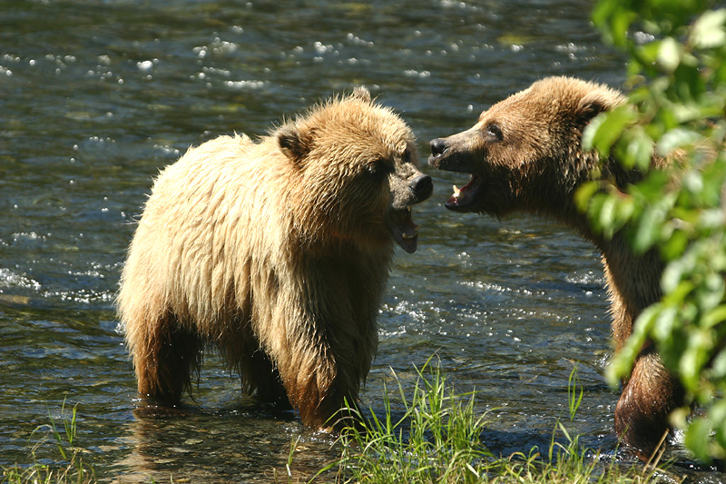 Playing griz cubs