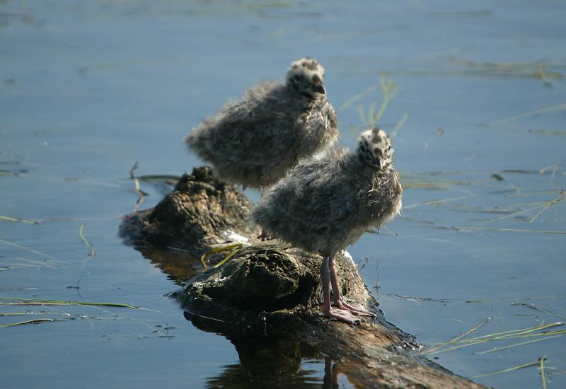 Mew Gull chicks