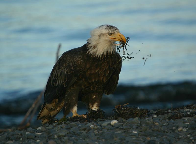 Grabbing some nest material