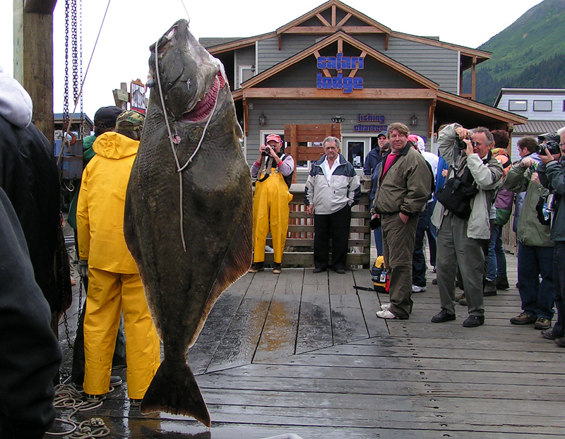 Huge halibut
