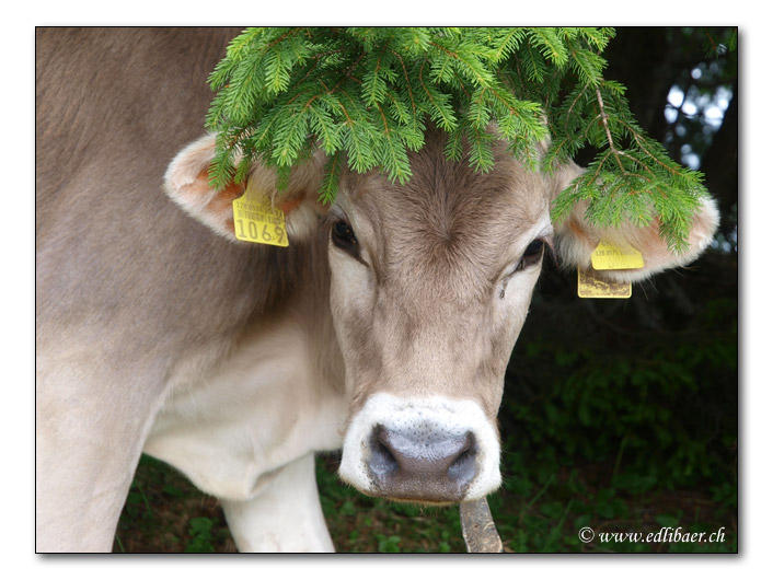 Wald-Rind / wood cattle (4812)
