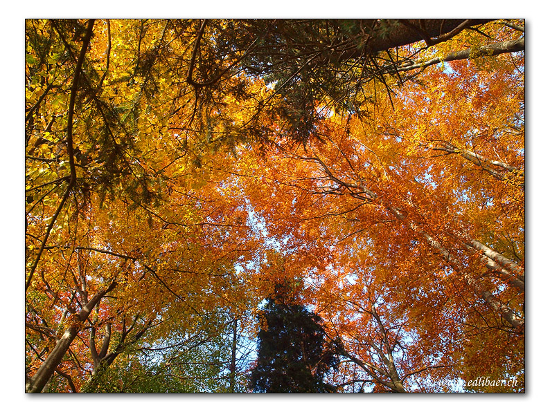 autumn colours / Herbstwald (2258)
