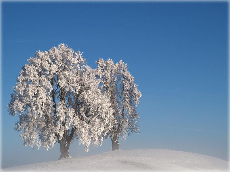 frosty trees / Eisige Bäume