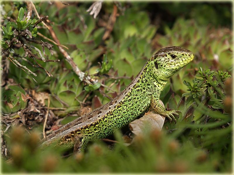 Zauneidechse / sand lizard / Lacerta agilis