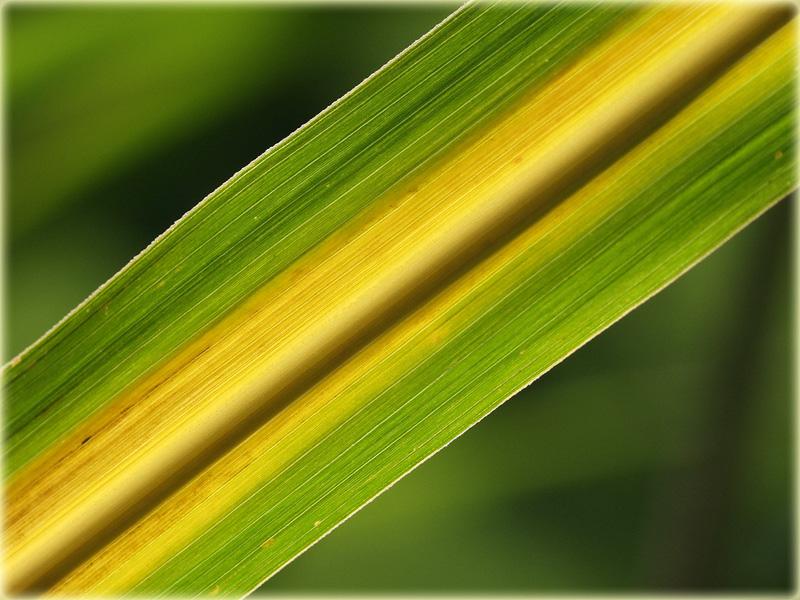Bambusblatt / Bamboo leaf