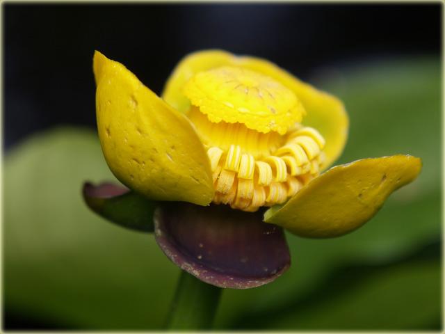 Gelbe Teichrose / spatterdock / Nuphar lutea