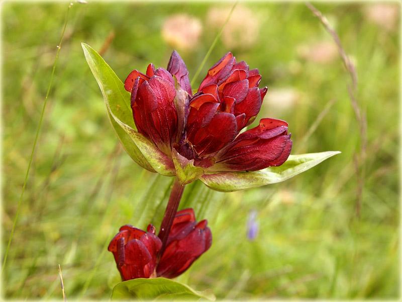 Purpur-Enzian / Gentiana purpurea / Purple Gentian