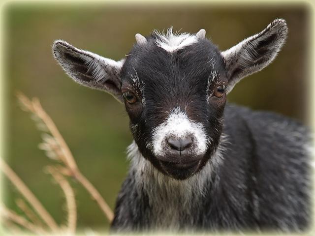 Geisslein / little goat