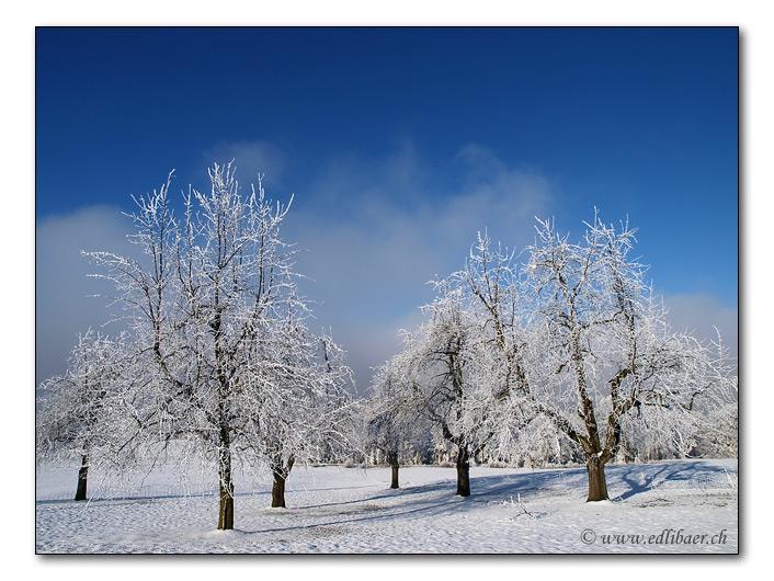 wintry grove / winterliche Baumgruppe