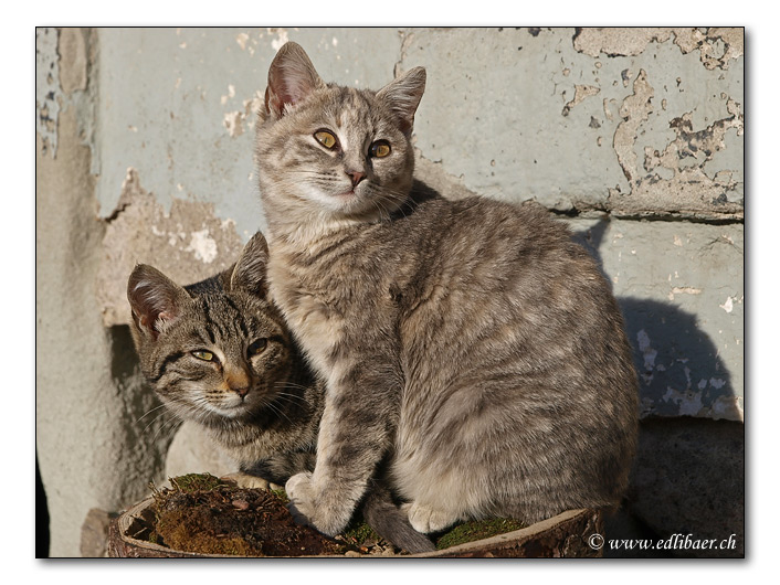 young cats / junge Katzen