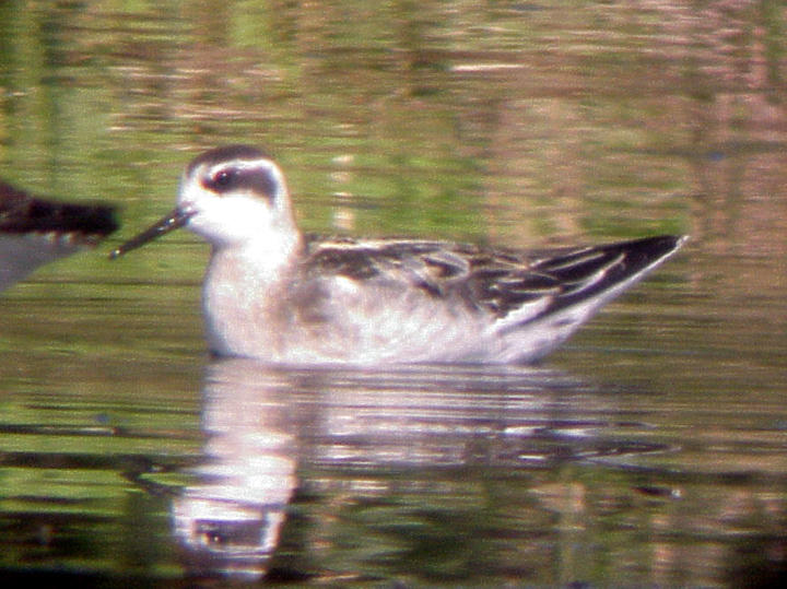 Red-necked Phalarope - 9-7-08 Juv. full body Ensley