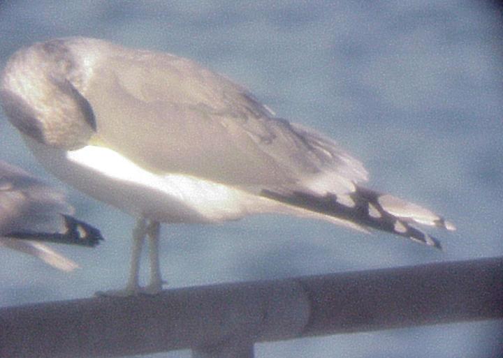 California Gull - 10-31-09 adult -