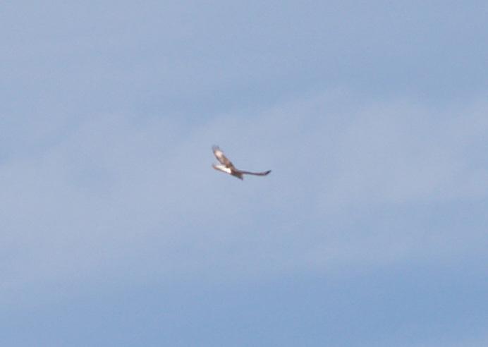 Ferruginous Hawk - 11-22-2012 - immature - Tunica Co. MS -