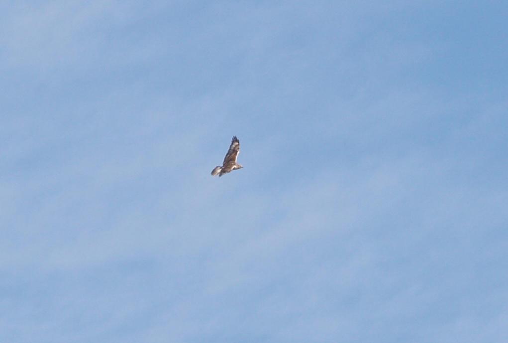 Ferruginous Hawk - 11-22-2012 - immature - Buck Island Road - Tunica Co. MS -
