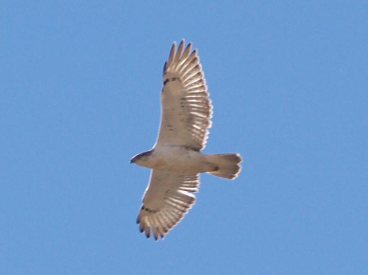Ferruginous Hawk - 11-24-2012 - immature - AR.