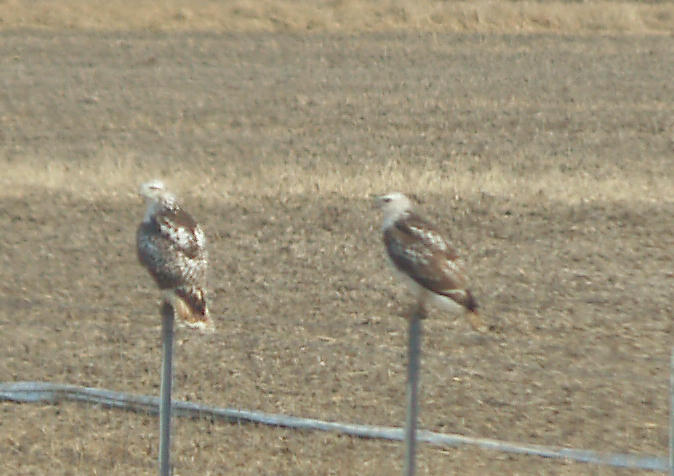 Red-tailed Hawk - 11-24-2012 - Kriders imm and adult - Highway 67 AR.