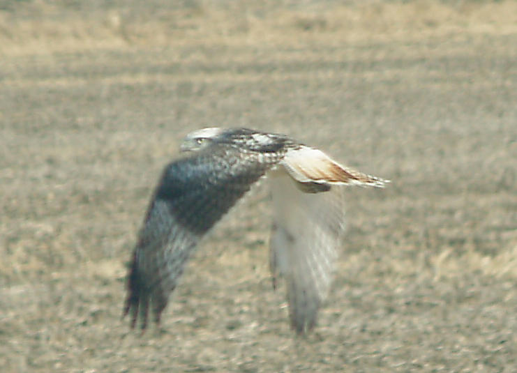 Red-tailed Hawk - 11-24-2012 - Kriders adult - Hwy 67 - AR -
