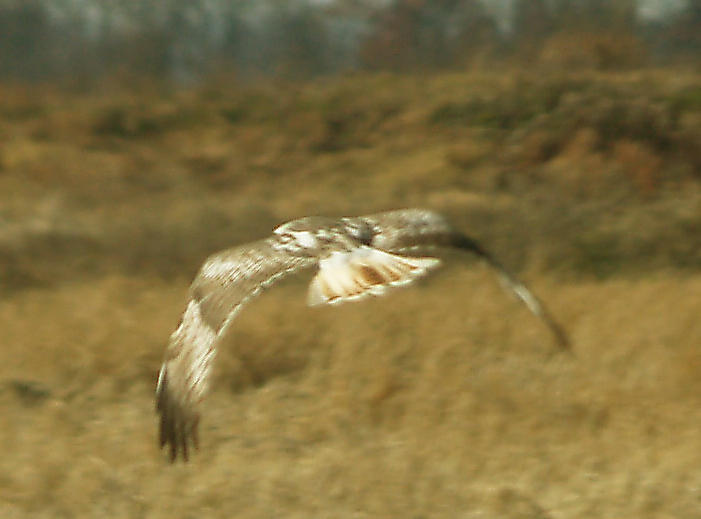 Red-tailed Hawk - 11-24-2012 - Kriders in tail molt. Hwy 67 AR.