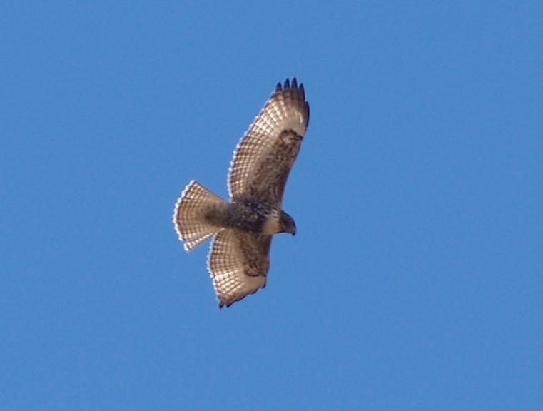 Red-tailed Hawk - 11-24-2012 - light intermediate morph calurus - Hwy 67 - AR.