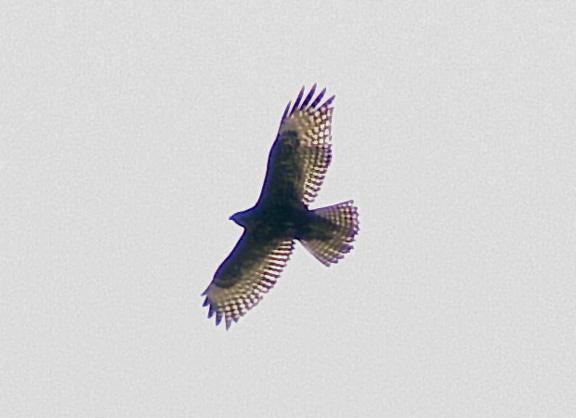 Red-tailed - Harlans - 1-3-06 -AR - imm.-intermediate dark morph
