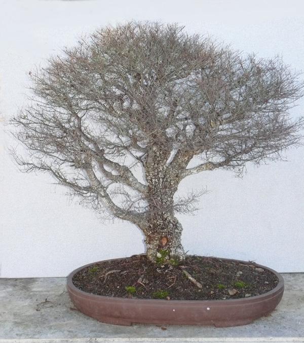 Ulmus parvifolia Seiju