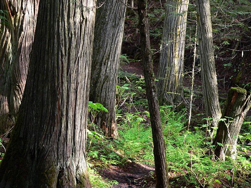 Cedars2.jpg