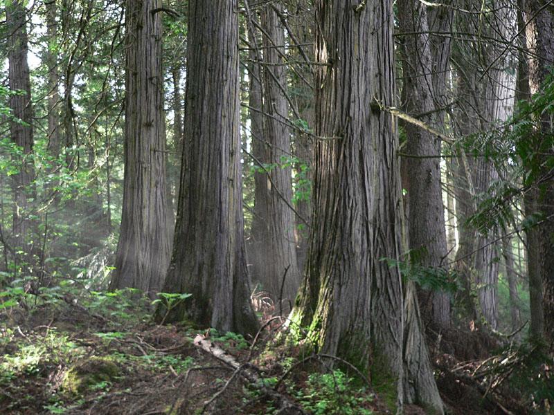 Cedars1.jpg