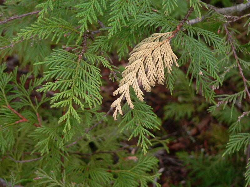 Cedar boughs.jpg