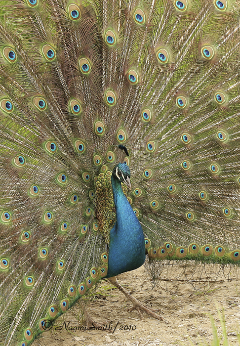 Peacock MY10 #0246