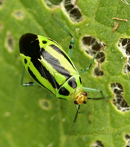 Four-lined Plant Bug #4240