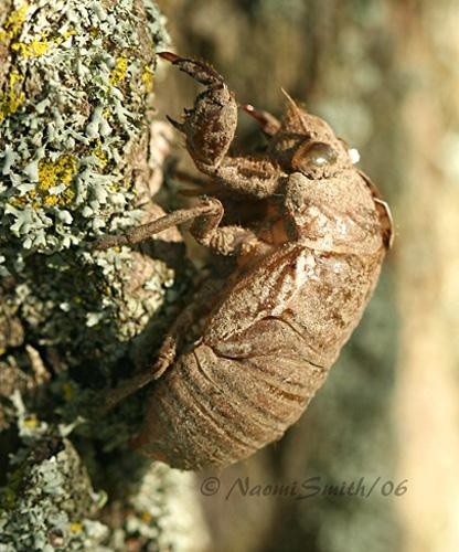 Cicada Exuvia #7858