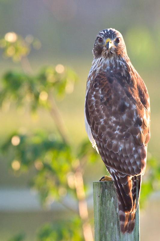 Red-Shouldered Hawk intense stare