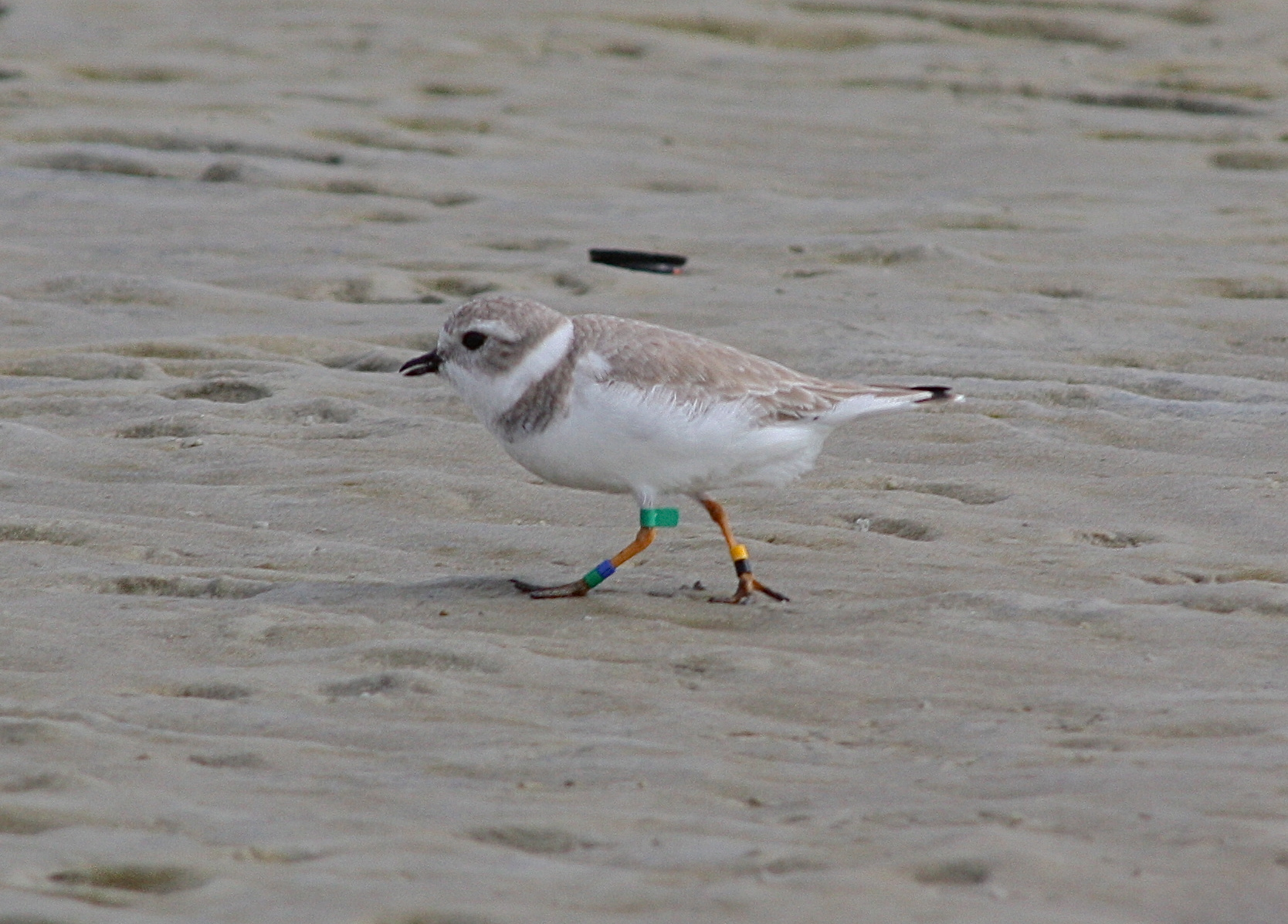 4997 - Piping Plover
