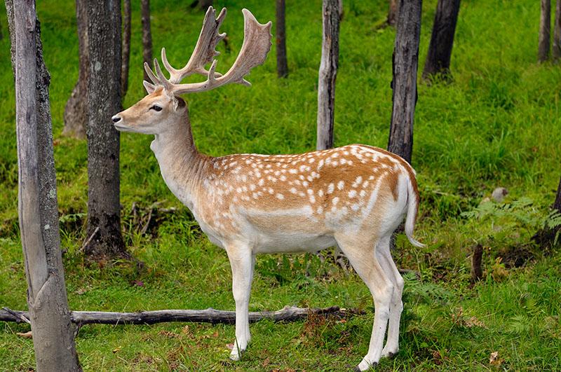 174 Fallow Deer Male 1.jpg
