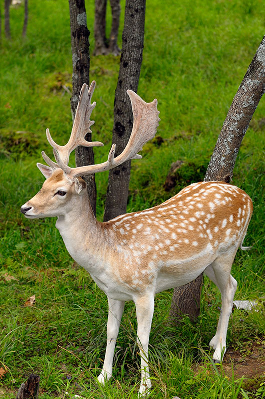 174 Fallow Deer Male 2.jpg